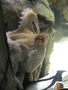 220px Oktopus Orakel Paul mit Schuh - Coupe du monde 2010 - La supercherie a assez durée