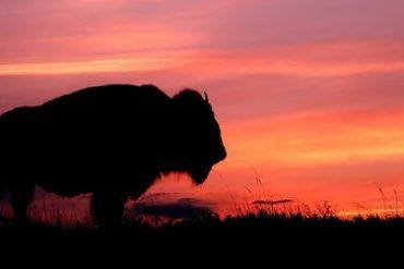 buffalo 370x247 - Buffalo fête ses 5 ans en France