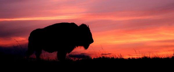 buffalo - Buffalo fête ses 5 ans en France